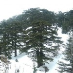 CEDAR GROVES OF LEBANON