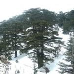 CEDAR GROVES OF LEBANON