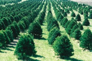 Christmas Tree Farm (wikipedia.com)
