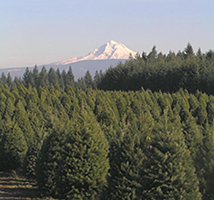 Christmas Tree Farm Near Mt. Hood (christmastrees-or.com)