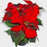 POINSETTIA FARMS OF TAXCO