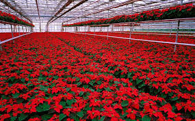 A Poinsettia Greenhouse (bloomzoom.com)